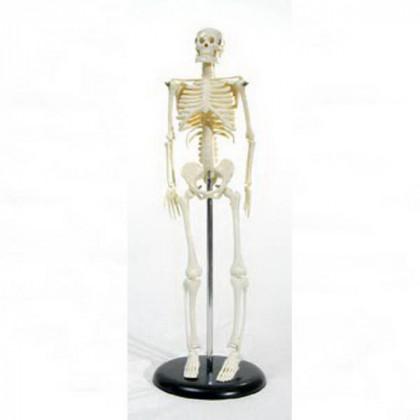 Скелет человека на подставке   45см.
